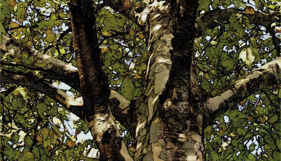 plane-tree-512399